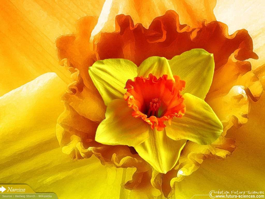 Printemps : Narcisse