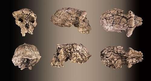 Le crâne de Toumaï a été retrouvé presque complet, comme on le voit sur ces différentes vues d'un moulage. © Didier Descouens, Wikimedia Commons
