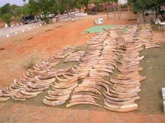 Des défenses de la deuxième plus grande saisie d'ivoire de contrebande dans l'histoire sont présentées à Singapour après qu'elles ont été saisies en 2002. © Benezeth Mutayoba