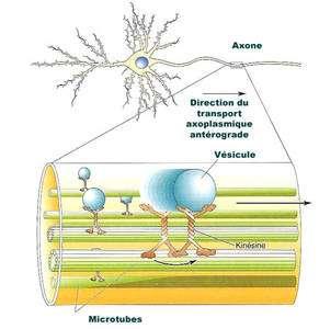 Implication des microtubules dans le transport axoplasmique. Le matériel à transporter est incorporé dans la membrane de vésicules particulières qui vont migrer du soma vers la partie terminale des axones grâce à l'action d'une protéine, la kinésine, se déplaçant le long des microtubules par un processus dépendant de l'ATP. © DR