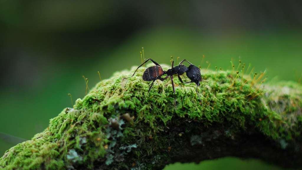 Les plus grandes fourmis du monde