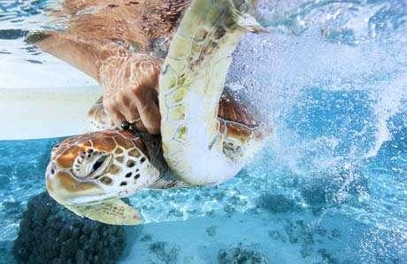Elle fera partie des tortues bientôt relâchées dans le lagon par le docteur vétérinaire Cécile Gaspar. © Alexis Rosenfeld - Reproduction interdite