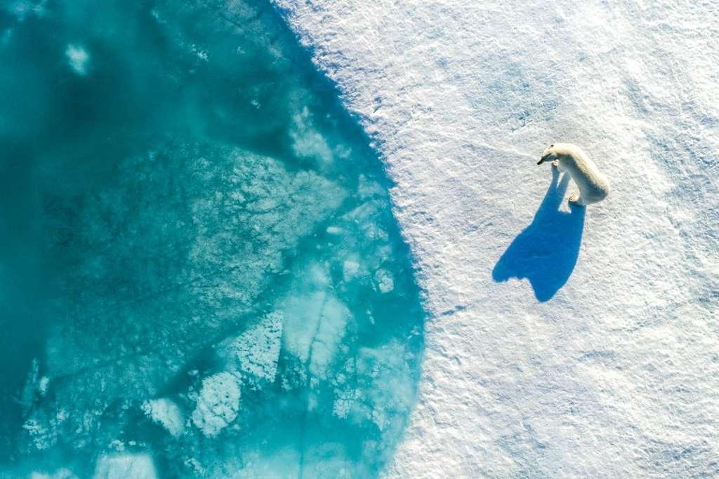 L'ours blanc, symbole du réchauffement climatique, Nunavut, Canada. © Florian Ledoux, Dronestagram