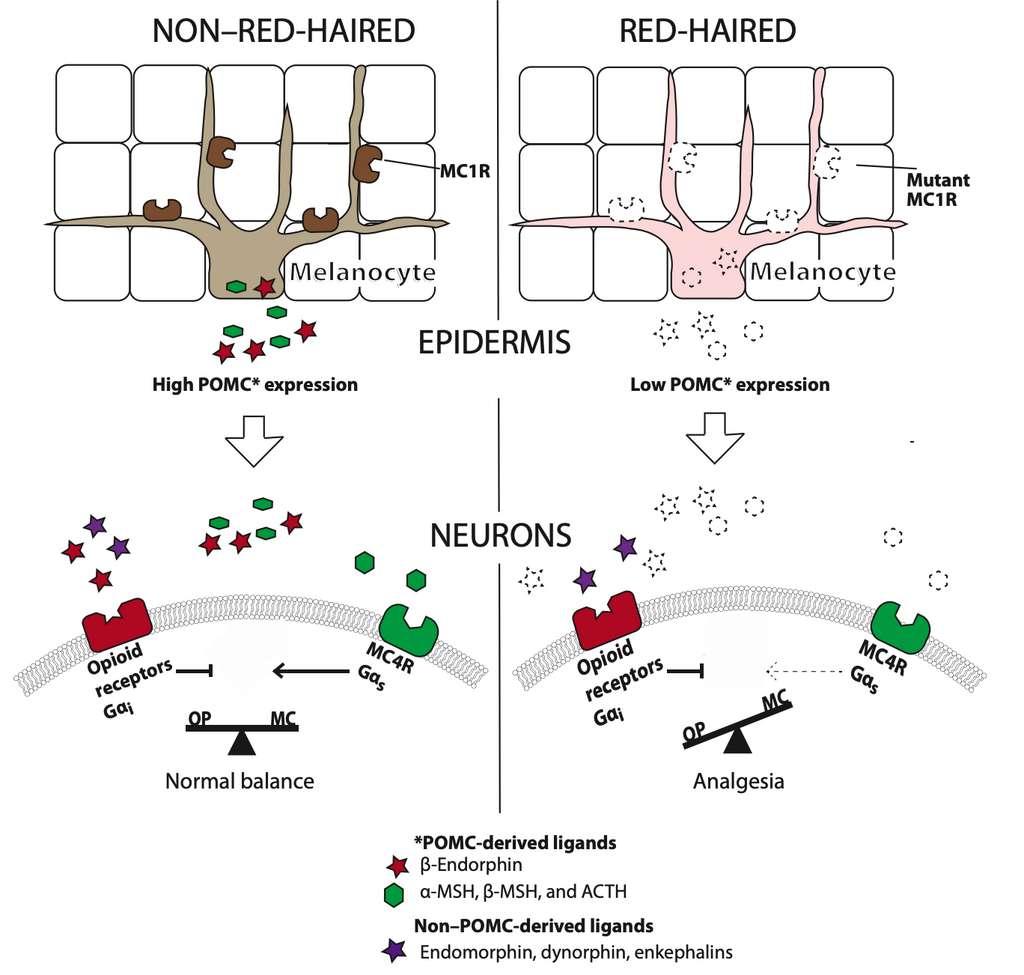 Schéma récapitulatif des interactions entre récepteur opioïde et récepteur de la mélanocortine chez les souris au pelage noir (à gauche) et chez les souris à pelage roux (à droite). Chez les rongeurs roux, le récepteur MC4R reste inactif à cause de l'expression plus faible de la proopiomélanocortine, ce qui augmente la tolérance à la douleur (analgésie). © Kathleen C. Robinson et al. Science Advances