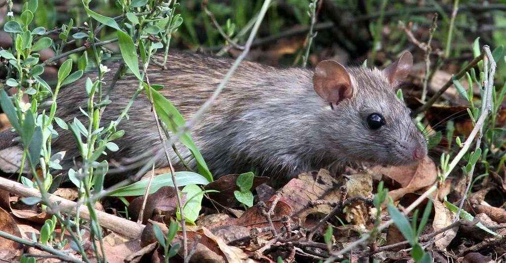 Rattus norvegicus, le rat partout ! © Greg Schechter, CC By 2.0