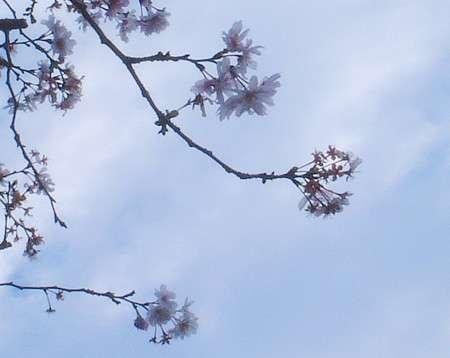 Prunus subhirtella. © DR