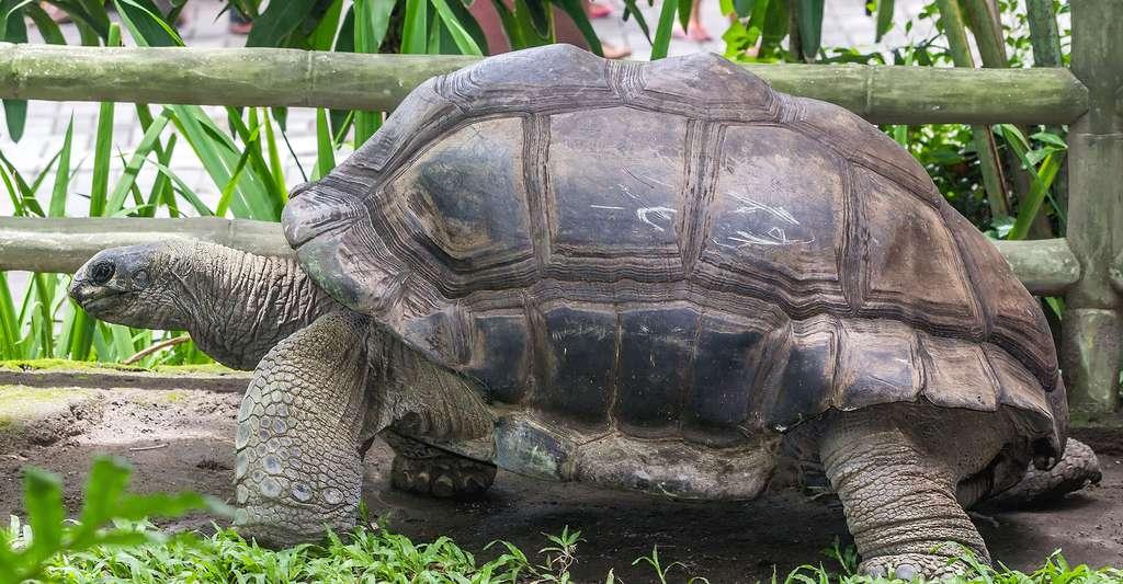Tortue géante (Aldabrachelys gigantea) sur Aldabra. © Crisco 1492, Wikimedia commons, CC by-sa 4.0