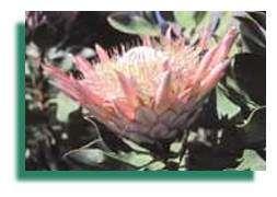 Les réserves de biosphère assurent la conservation d'échantillons de la faune et de la flore du monde pour les générations présentes et futures. La flore de la Réserve de biosphère de Kogelberg en Afrique du Sud, d'un type particulièrement rare, est aussi l'une de celles qui présente la plus grande diversité. D'après les estimations, elle renfermerait plus de 1 600 espèces végétales dont 150 sont considérées comme endémiques. Copyright Photo : Beatrice Petit.