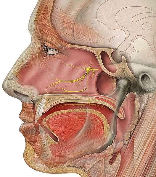 Le système olfactif implique la muqueuse olfactive, les récepteurs olfactifs neuronaux et le bulbe olfactif dans le cerveau. © Patrick J. Lynch / Licence Creative Commons