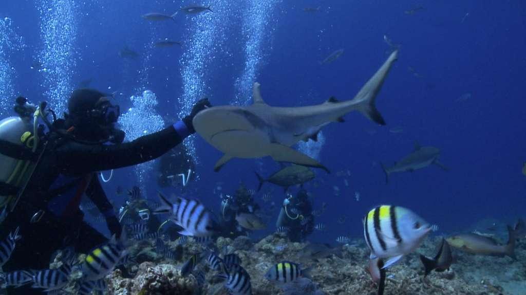 Les requins restent des animaux méconnus sur le plan scientifique, et les observations en milieu naturel sont rares. © Projects Abroad