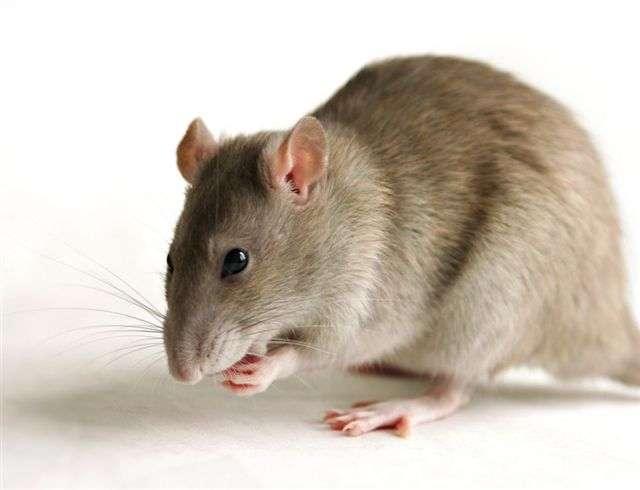 Les rats sont des bons animaux modèles d'une grande variété de maladies et de conditions, dont l'amnésie. © DR