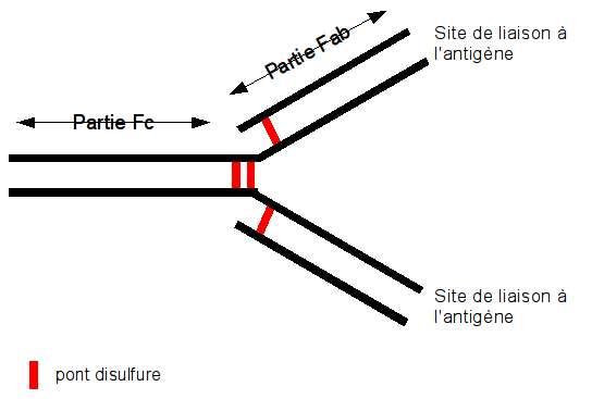 Structure d'un anticorps. Le natalizumab est un anticorps monoclonal. © MC Jaquier