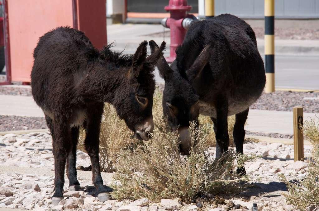 Les ânes, des animaux familiers de l'Atacama