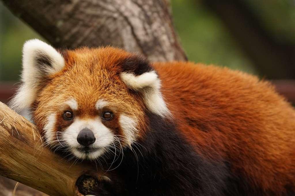 Le panda roux. © swgwecp, Fotolia
