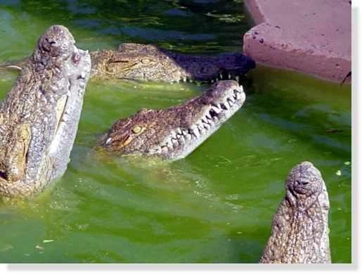 Quatrième dent du crocodile du Nil © Photo Philippe Mespoulhé Reproduction interdite
