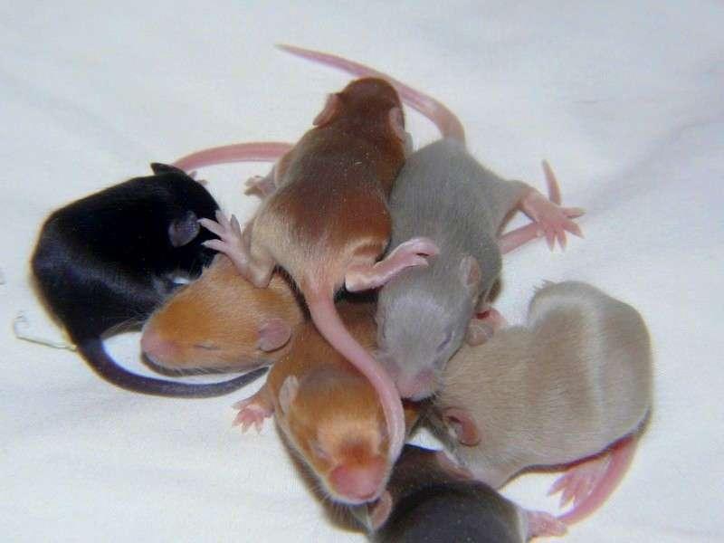 Une souris femelle a des petits plus sains et plus nombreux si elle choisit son partenaire. La prochaine étude déterminera si les vocalises femelles varient selon l'identité du prétendant. © Fibius, Wikimedia Commons, CC by-sa 4.0