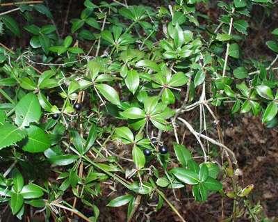La plante Rubia peregrina.