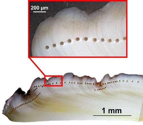 Coquille après prélèvement à l'ablation laser. Chaque petit trou a un diamètre de 60 µm. © C.E. Lazareth et T. Pilorge, IRD. Reproduction et utilisation interdites