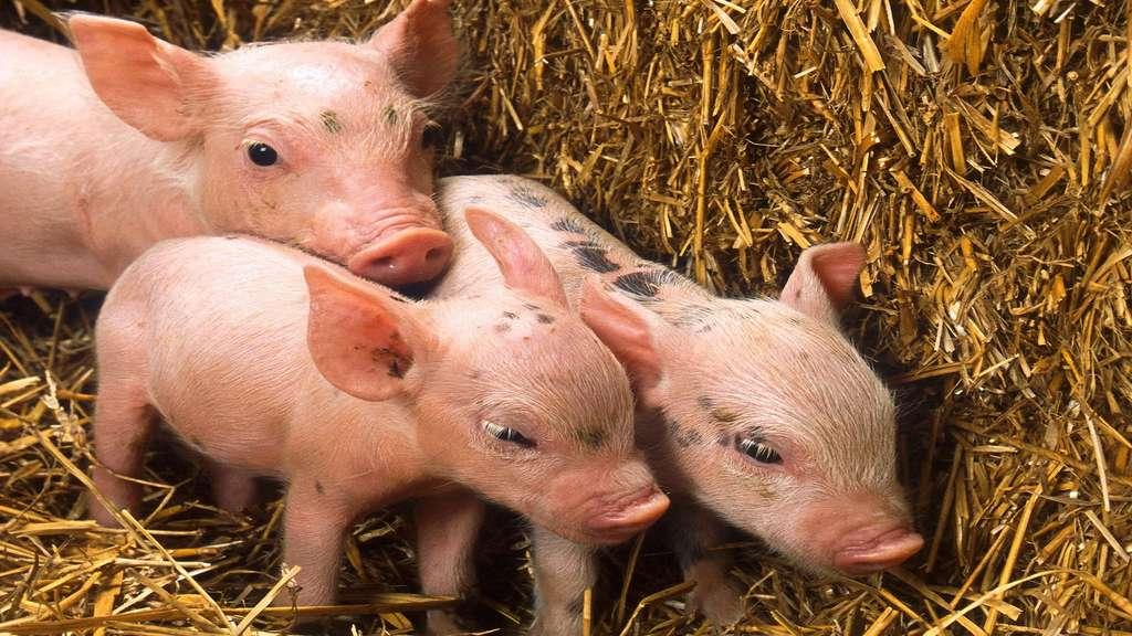 Les petits du cochon : porcelets, gorets et cochonnets