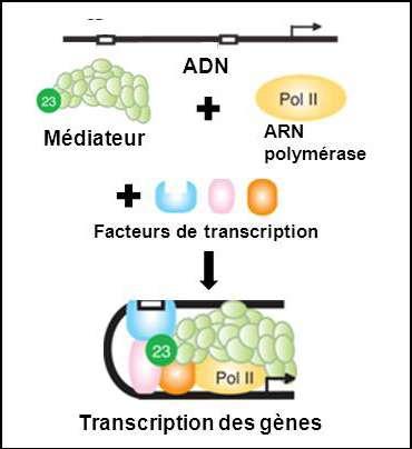 Figure 1 : rôle du complexe Médiateur dans la transcription des gènes. © Inserm