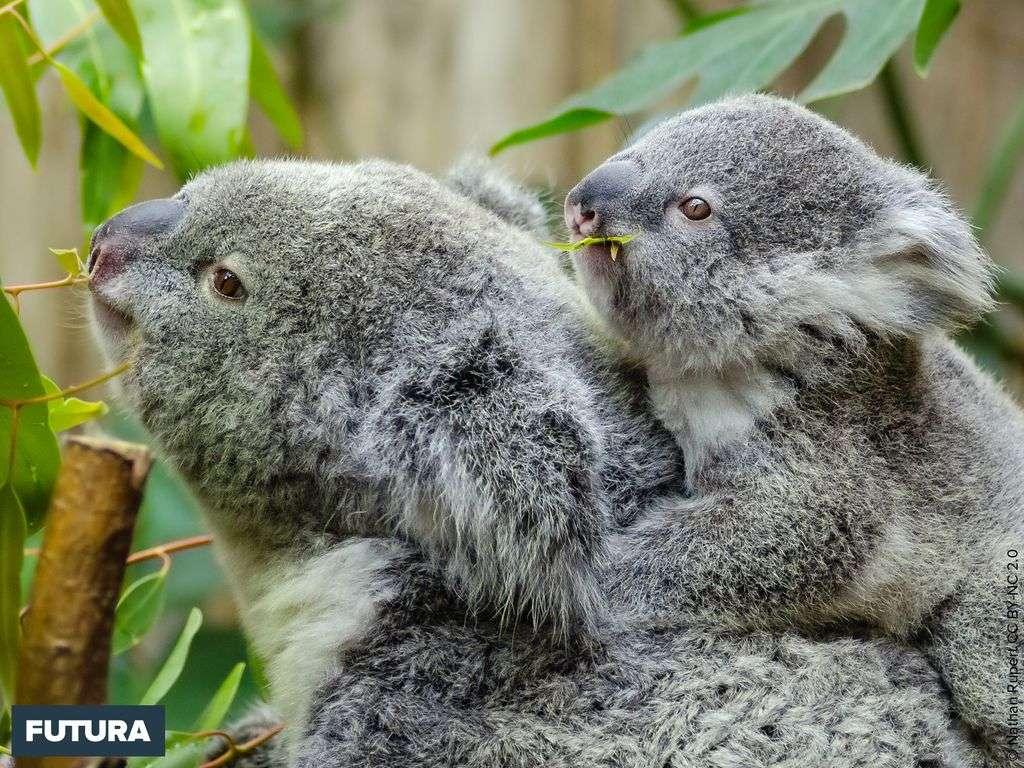 Les koalas dorment jusqu'à 20 heures par jour