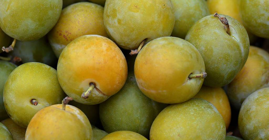 Prunes de la variété Reine-Claude. © Ben Kerchx, Pixabay, DP