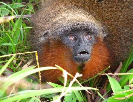 Le singe Callicebus caquetensis est venu compléter le groupe des titis, qui compte maintenant 20 membres. Ils vivent tous dans le bassin amazonien. © Thomas Defler