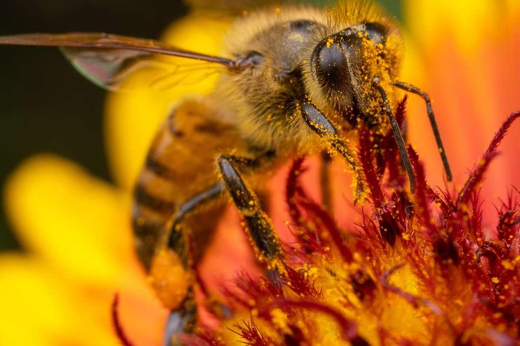 Les chercheurs de l'université du Texas recommandent désormais à ceux qui tiennent à continuer d'employer du glyphosate d'éviter tout de même de le pulvériser sur les plantes à fleurs les plus appréciées par les abeilles. © Alex Wild, Université du Texas à Austin