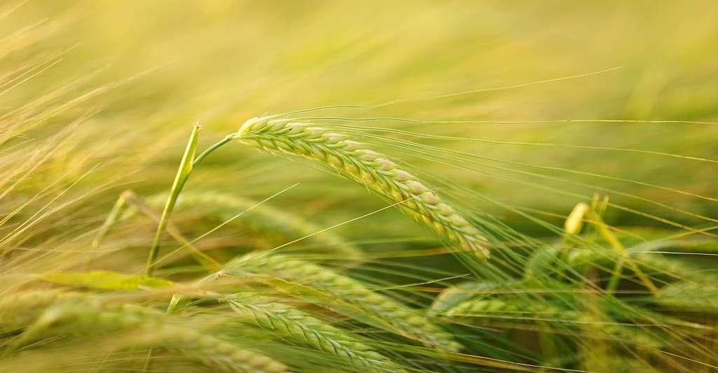 Le Lot-et-Garonne est un grand producteur de blé. © Hans, Pixabay, DP