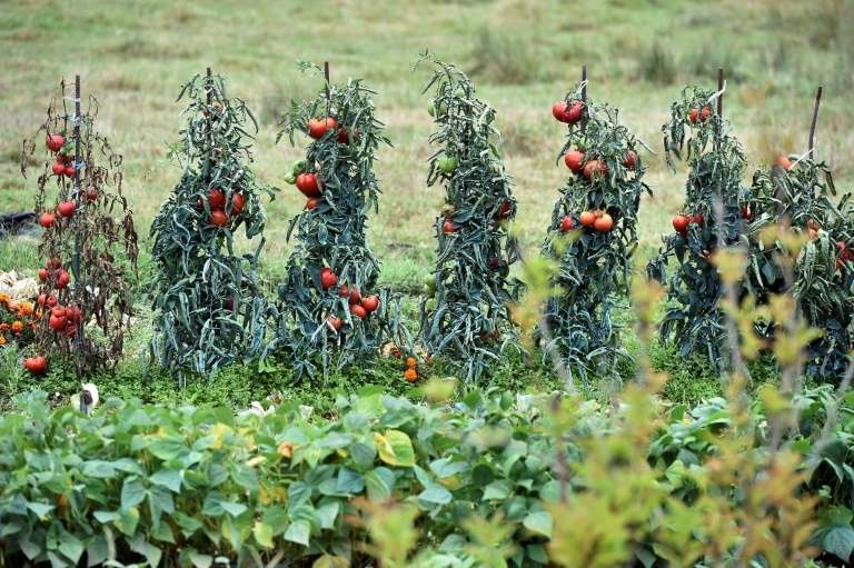 L'Anses met en garde contre un nouveau virus appelé ToBRFV pour tomato brown rugose fruit virus s'attaquant aux tomates. © Rémy Gabalda, AFP Archives