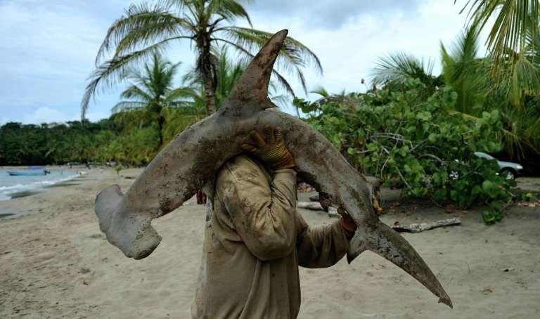 Un pêcheur et un requin-marteau sur la plage de Manzanillo, au Costa Rica, le 3 avril 2011. © Yuri Cortez, AFP, Archives