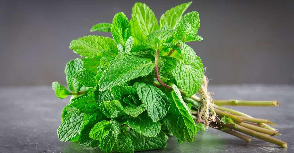 La menthe verte est délicieuse dans le thé. © Olya Detry, Shutterstock