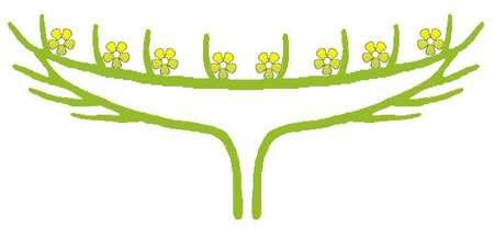 Dans le cas d'un capitule, plusieurs fleurs sans pédoncules sont regroupées sur un réceptacle. © Rasbak, GNU 1.2