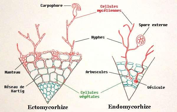Dessin d'une coupe de racine mycorrhizée montrant deux principaux types de mycorhizes : les endomycorhizes et les ectomycorhizes dont voici des vues en coupe très schématiques. © Nil-the-Frogg, Wikimedia Commons, CC by-sa 1.0