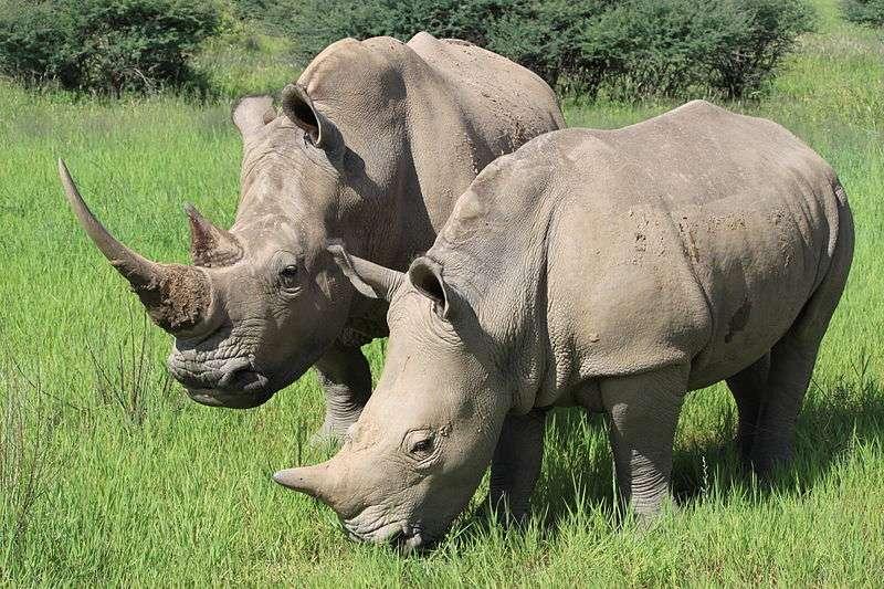 Un rhinocéros blanc en Namibie (Ceratotherium simum)
