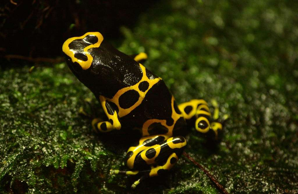 Dendrobates leucomelas, grenouille empoisonnée. © Donar Reiskoffer, Wikimedia commons, CC 1.2