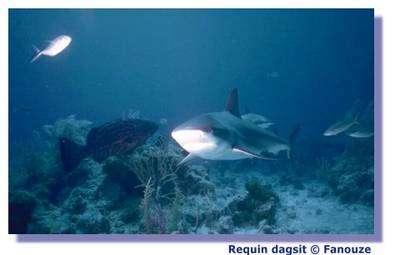 Les déchets des humains attirent les requins vers les côtes. © Fanouze