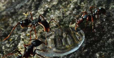 Trois fourmis (Rhytidoponera sp.) en train de s'abreuver sur une goutte sucrée. L'apport en sucre s'avère un élément clé de la nutrition d'une colonie de fourmis. © Gabriel Miller
