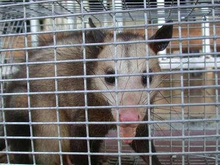 Les grands opossums, comme ce pian (Didelphis marsupialis) sont capturés dans des cages en épais grillage. Terrestre et arboricole, cette espèce montre des poulations dont la densité fluctue beaucoup selon les années et les ressources alimentaires en fruits. © François Catzeflis - Tous droits réservés