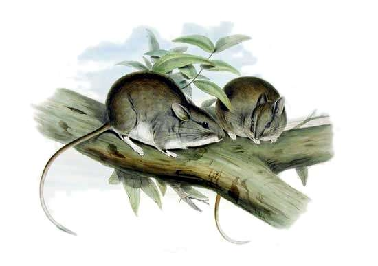 Leporillus apicalis, illustration de John Gould. © Wikipedia, domaine public