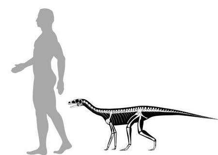 Asilisaurus kongwe devait peser entre 10 et 30 kg pour une hauteur comprise entre 50 cm et 1 m. Sa longueur devait être comprise entre 1 et 3 mètres. Ce n'est pas un ancêtre des dinosaures. Crédit : S. Nesbitt