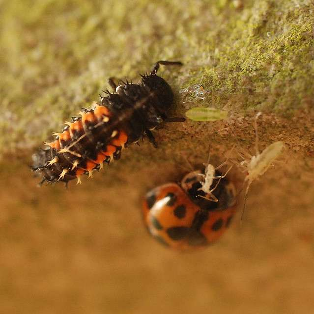 Une larve et un adulte de coccinelle asiatique face à des pucerons. © polandeze, Flickr, cc by nc 2.0