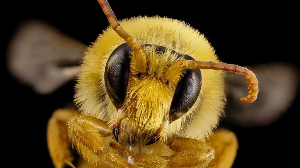 L'abeille Mydrosoma serratum, de la famille des Collétidés