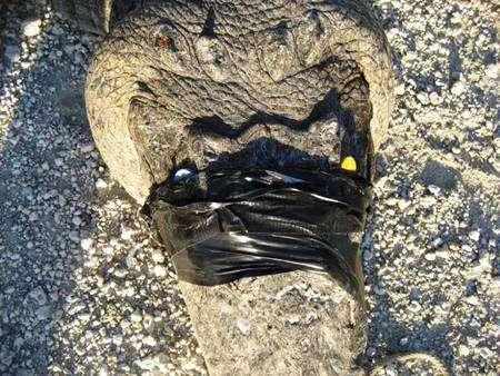 Crocodile appareillé avant son transfert. Les aimants sont visibles sous les bandes adhésives. Crédit : FWC