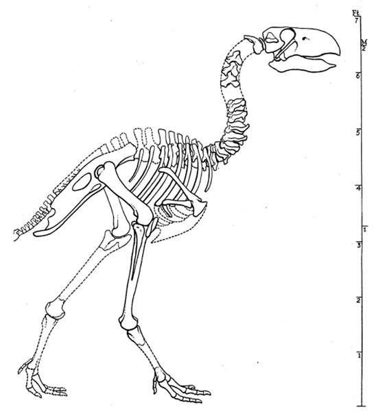 Reconstitution du squelette de Diatryma (= Gastornis ) par Matthew et Granger (1917). © American Museum of Natural History
