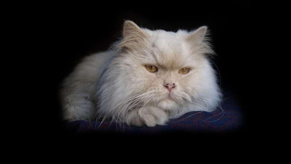 Les longs poils du chat persan