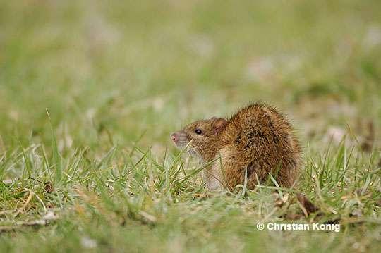 Le rat surmulot est commun dans la plupart des régions du monde. © Christian König, DR