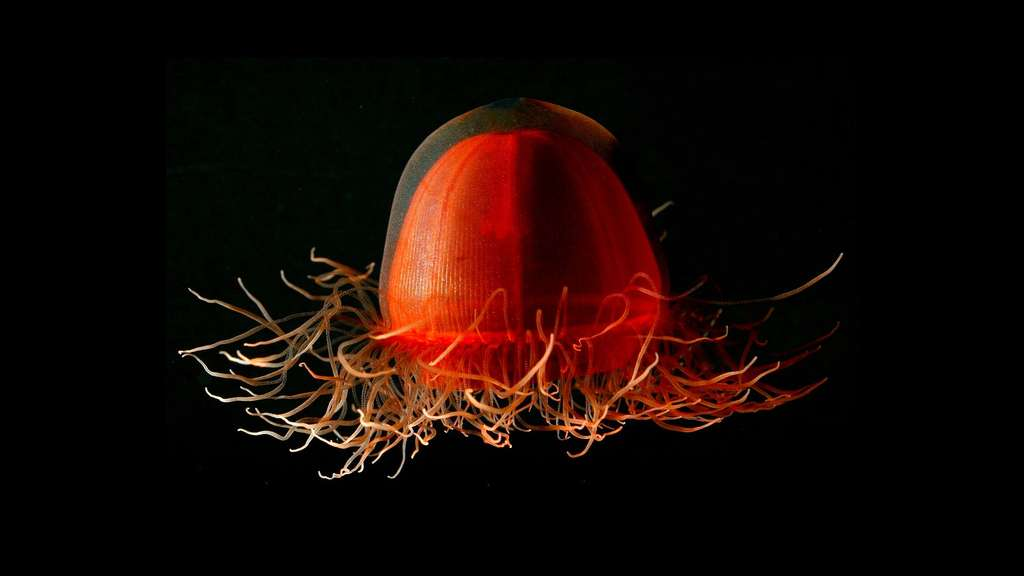 Crossota, la petite hydroméduse