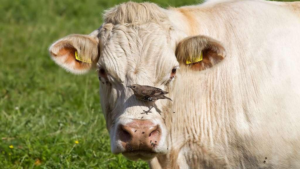 Vache : les races bovines participent à l'entretien des terroirs
