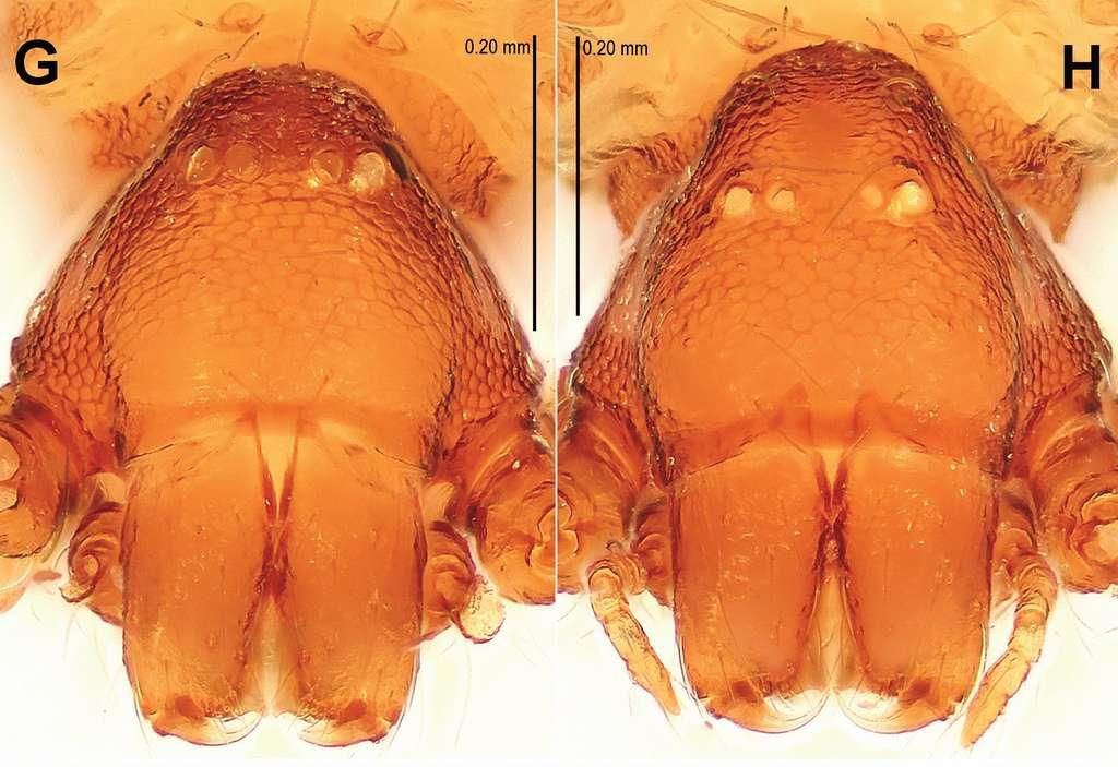 L'espèce d'araignées Singaporemma banxiaoensis (mâle à gauche, femelle à droite) a des vestiges d'yeux blancs sur la tête. © Yucheng Lin, Shuqiang Li, ZooKeys, 2014, cc by sa 4.0